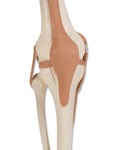 Kniegewricht functioneel - Anatomisch model - FeelgoodWinkel