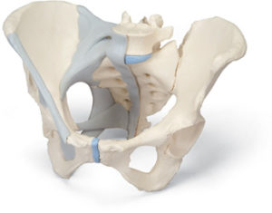 Bekken vrouw met banden - Anatomisch model - FeelgoodWinkel
