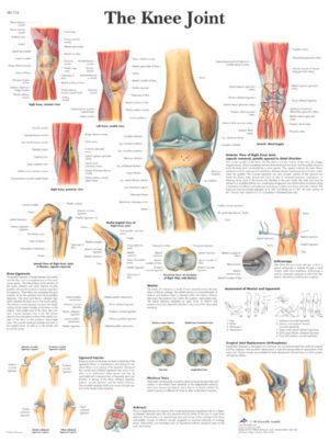 Kniegewricht Poster - Anatomisch - FeelgoodWinkel