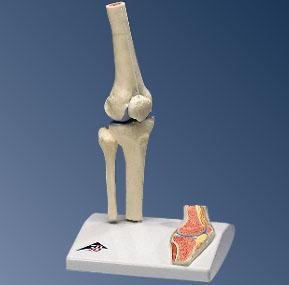 Mini Kniegewricht op statief - Anatomische modellen - FeelgoodWinkel.nl